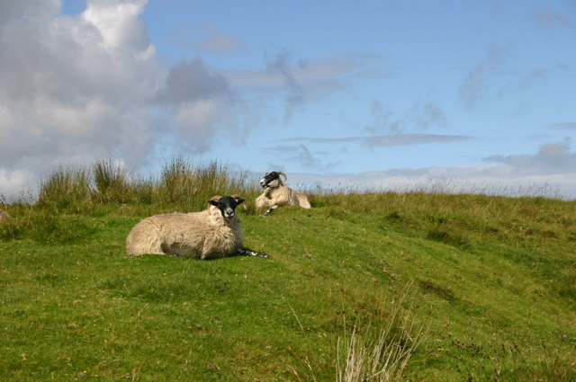 isleofskyesheep.jpg