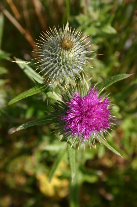thistle.jpg